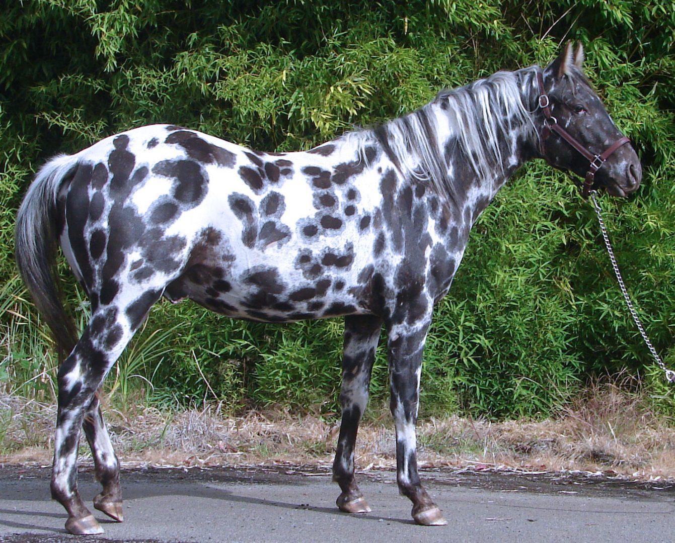 Rare Albino Horses Caballo Appaloosa mote...