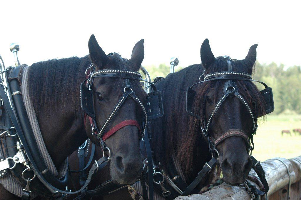 Raza de caballos de tiro negros